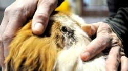 Quebec Dog Survives Gunshot To The