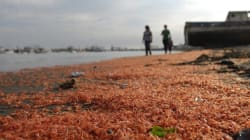 Des milliers de crevettes échouées sur une