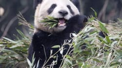 TWEETS: Pandas Arrive In