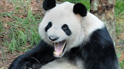More Panda Songs Than You Could Possibly