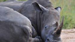 Nouveau record de rhinocéros massacrés en 2014 en Afrique du