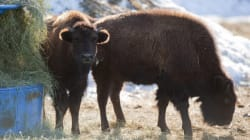 What Are Canadian Bison Doing In