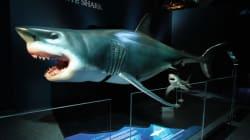 Nouvelle exposition au Centre des sciences: « Requin, prédateur ou proie ?