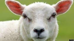 Beheaded Sheep Found Outside Liquor