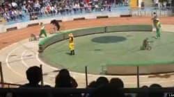 Une course de vélo entre un ours et un singe finit en