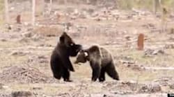 WATCH: Amazing Video Of Grizzlies