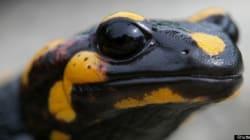 Comment la salamandre permettrait de régénérer les membres du corps