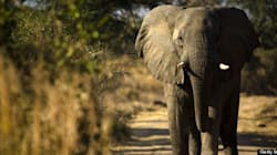 Rescuing an Elephant in the Wilds of India