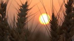 Monsanto indique tester des semences de blé
