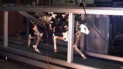 Il ghepardo robot che corre più veloce di Bolt
