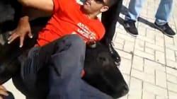 Un taureau en fuite maîtrisé par des