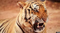 Celebrate Global Tiger Day With 15 Grrrreat