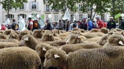 Des milliers d'animaux (et leur éleveurs) envahissent