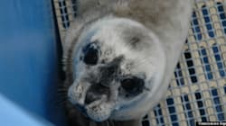 LOOK: Rescued Preemie Seal Pup Is Ridiculously