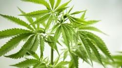 Marijuana thérapeutique : un avocat intente une action contre Santé
