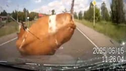 Ah! La vache! un accident pour le moins...