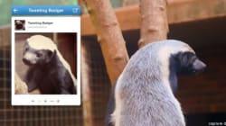 Un blaireau, porte-parole d'un zoo sur