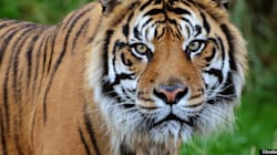 Kellogg Is Killing the Last Sumatran Tigers for