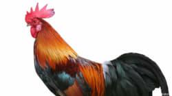 Il gallo canta?