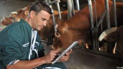 Un stérilet pour vaches afin d'augmenter la production de