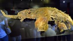Le mammouth bientôt ressuscité grâce à son