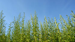 Les allergies à l'herbe à poux à leur comble en cette fin
