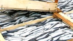 Stop al pesce fresco in tutto l'Adriatico. Da Pesaro a Bari è fermo pesca per ripopolare il mare