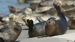 Chasse aux phoques: Ottawa juge l'embargo européen