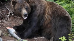 Grizzly Eats Black Bear In