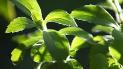 Everything You Ever Wanted to Know About Stevia (Or Didn't Know To