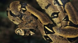 Missing Boa Constrictor Found In