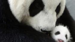 Cuccioli di panda nascono... e crescono