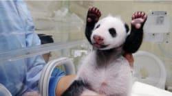 Un bébé panda rencontre sa mère pour la première fois