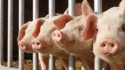 Pork Plant That Leaked Toxic Chemical