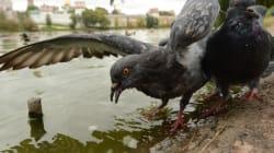 Des «pigeons zombies» à