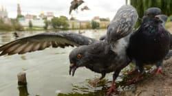 Des pigeons zombies à