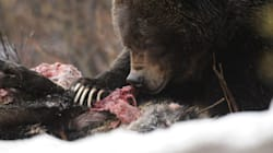 Grizzly Devours Black