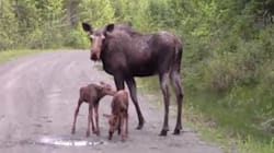 WATCH: Mama Moose Attacks