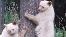 LOOK: White Bear Cub Seeks