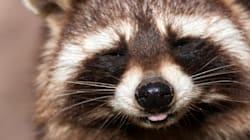 Is Toronto's War On Raccoon Nation