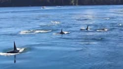 WATCH: Orcas Spotted In Gulf