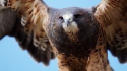 Hawks Really, Really Hate