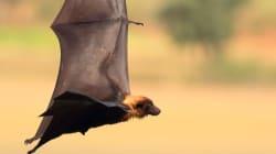 Bat That Bit Albertan Has