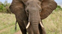 Des éléphants accros à l'héroïne sortent d'une cure de