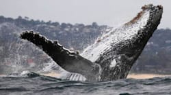 Could Northern Gateway Threaten Humpback