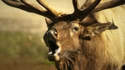WATCH OUT: Banff Elk Feeling Sexy And