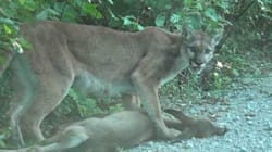WATCH: Cougar Drags Its