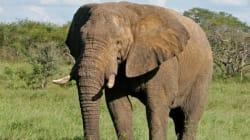 Braconnage: 81 éléphants ont été empoisonnés au