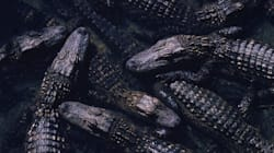 150+ Adult Crocodiles, Alligators Removed From Toronto
