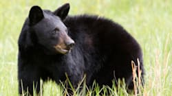 Whistler Bear Killed After Home